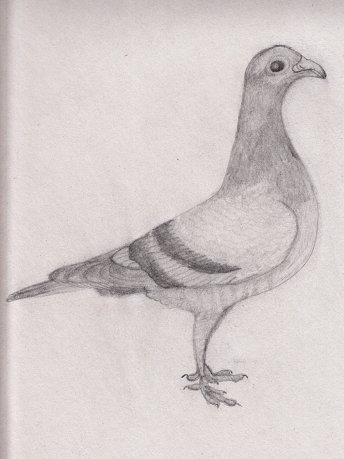 a-racing-pigeon